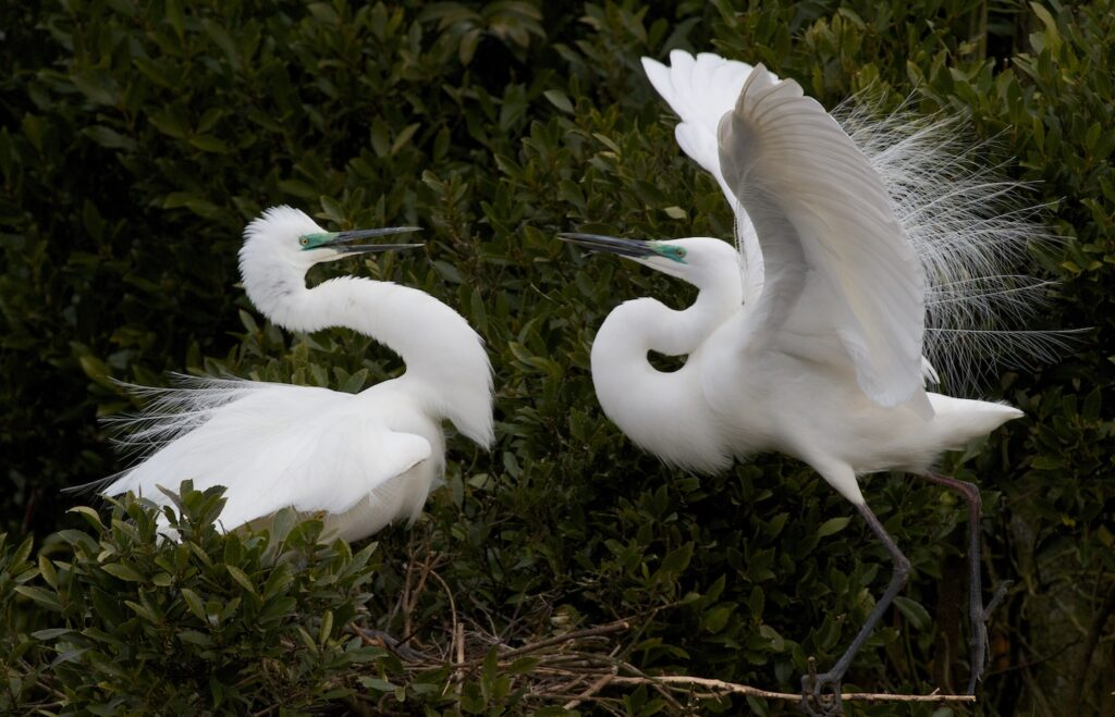 White Herons in Okarito lagoon, west coast, new zealand
