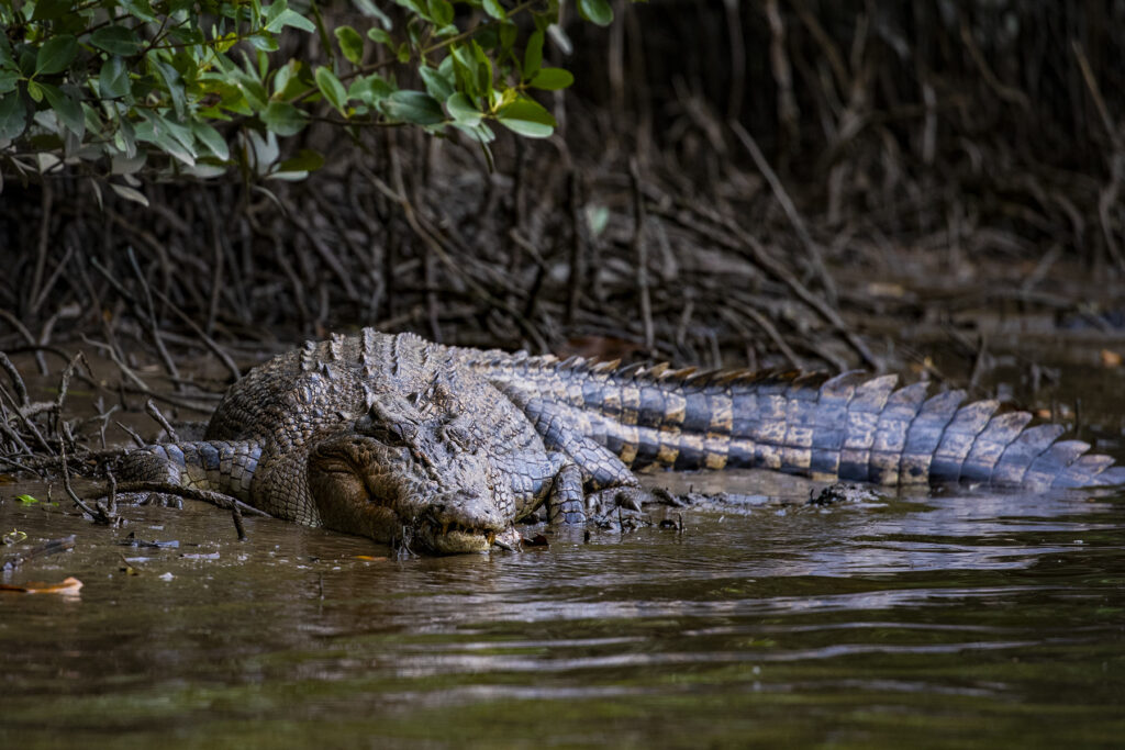 Saltwater crocodile. Queensland Australia